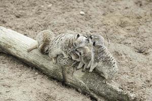 famiglia di suricati foto