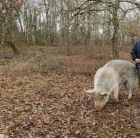 raccolta di tartufo nero con l'aiuto di un maiale a lalbenque, francia foto