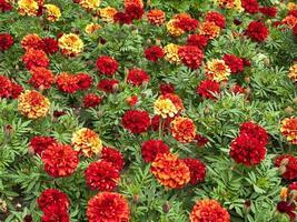 colorate calendule africane o messicane tagetes erecta in un letto di fiori foto
