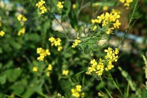 fiori di senape che fioriscono sulla pianta al campo dell'azienda agricola con i baccelli. avvicinamento. foto