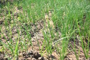 giovani piante di cipolla verde in un campo agricolo, campo agricolo. foto