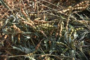 raccolto di piselli di piccione nel campo di fattoria foto