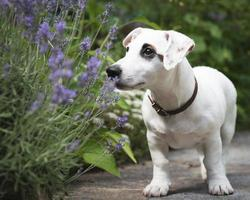 cane bianco jack russel terrier foto