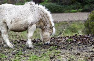 campo di pony selvaggio foto