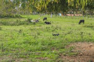 mucche e bue brasiliano foto