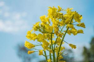 colza gialla o fiori di colza, coltivati per l'olio di colza foto
