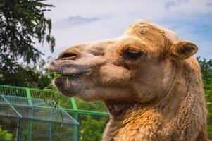 faccia del primo piano del cammello in fattoria foto