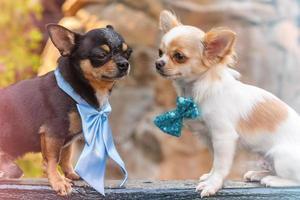 due chihuahua cane. due cani sono fotografati di profilo bianco e nero. foto