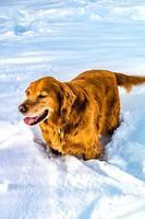 il golden retriever corre attraverso la neve. parco nazionale di banff alberta, canada foto