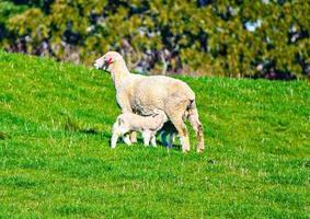 pecore al pascolo in un campo. Auckland, Nuova Zelanda foto