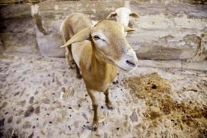 animale domestico di pecora foto