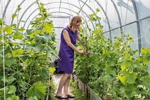 la giovane donna sta legando i cetrioli in giardino. piantine di cetriolo verde nella serra, prenditi cura di un buon raccolto foto