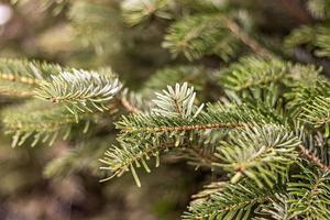 sfondo di rami di abete rosso verde di una pianta di conifere nel giardino foto