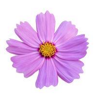 primo piano di un bellissimo fiore rosa cosmo isolato su sfondo bianco. foto