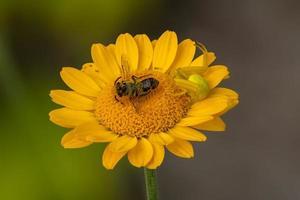 ragno granchio fiore con preda su aster foto