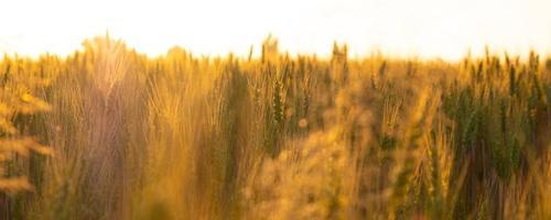 campo di grano nei raggi del sole mattutino, spighette nella calda luce arancione dell'alba foto