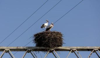 coppia di cicogne nel suo nido ad aveiro, portogallo foto