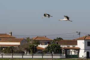 cicogne che volano ad aveiro, in portogallo foto