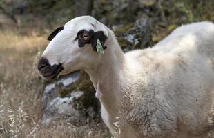 gregge di pecore in portogallo foto