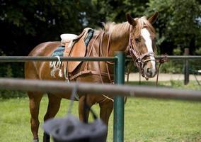 cavallo da polo che aspetta il suo turno foto