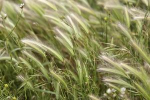 campo di grano in natura foto