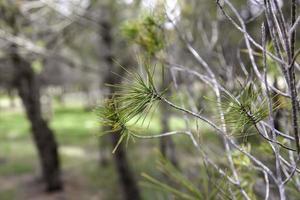 rami di pino in una foresta foto