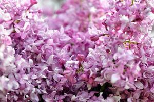 messa a fuoco selettiva close-up fotografia astratta. fiori di lillà in giardino. foto