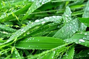 messa a fuoco selettiva. Immagine. primo piano del fogliame verde fresco con gocce d'acqua dopo la pioggia - immagine foto