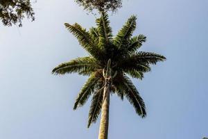 palma reale molto popolare in brasile foto