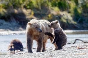 orso grizzly nella natura dell'alaska foto