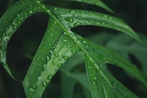 foglie verdi texture di sfondo con gocce d'acqua piovana foto