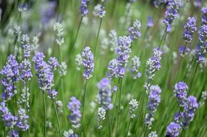 piccoli fiori viola di lavanda foto