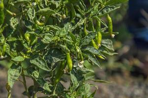peperoncino biologico verde sulla pianta giovane al campo dell'azienda agricola, concetto di raccolto. foto