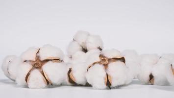 veri fiori di cotone biologico di colore bianco in studio foto