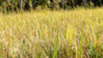 foto sfocata di risaie con riso che è diventato giallo ed è pronto per essere raccolto