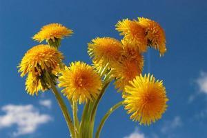 fiori gialli del dente di leone e cielo blu. foto