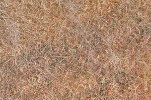 trama di erba secca. foto