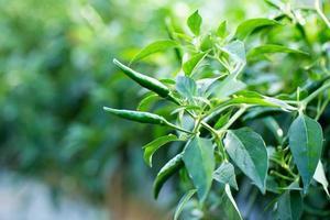 peperoncino verde maturo su un albero, i peperoncini verdi crescono in giardino foto