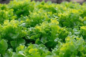 foglie di lattuga di quercia verde fresca, insalata di verdure della fattoria idroponica foto