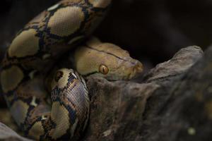 ritratto di boa, serpente boa constrictor sul ramo di un albero foto