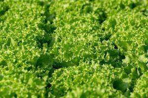 foglie fresche di lattuga iceberg frillice, insalate fattoria idroponica di verdure foto