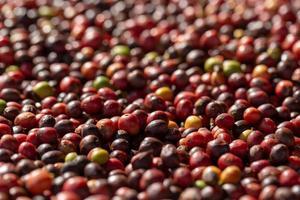 chicchi di caffè rosso arabica freschi bacche e processo di essiccazione foto
