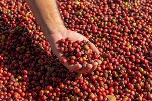 chicchi di caffè rossi bacche in mano e processo di essiccazione foto
