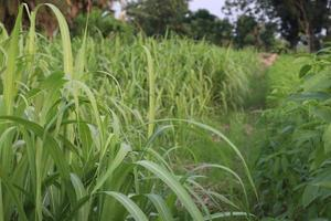 fattoria di canna da zucchero sul campo per il raccolto foto