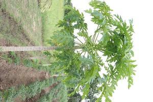 albero di papaya nella fattoria foto