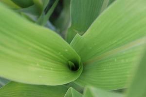 albero di mais di colore verde fermo sul campo foto