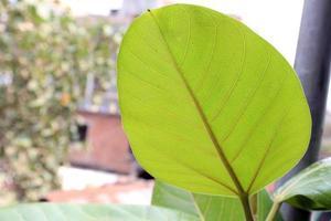 foglia verde su albero di banyanyan foto