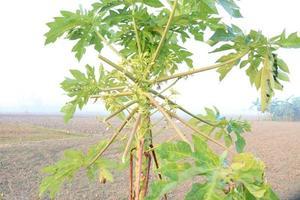 primo piano dell'albero di papaia in fattoria foto