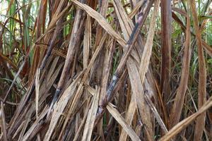 primo piano della ditta di canna da zucchero sul campo per il raccolto foto