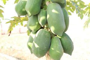 brodo di papaya crudo verde sano foto